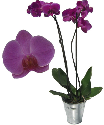 comment bien entretenir une orchid e. Black Bedroom Furniture Sets. Home Design Ideas