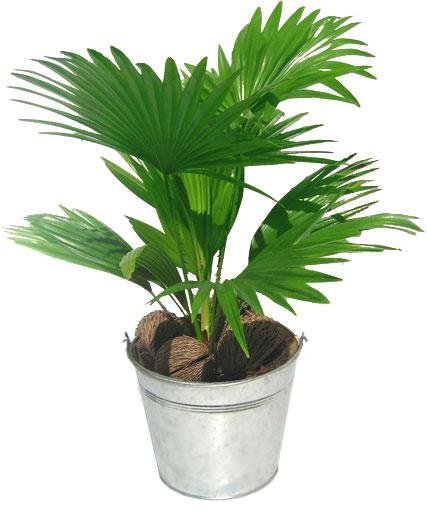Palmier plantation entretien for Plante palmier