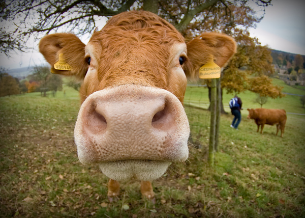 Dr le de vache - Photo de vache drole ...