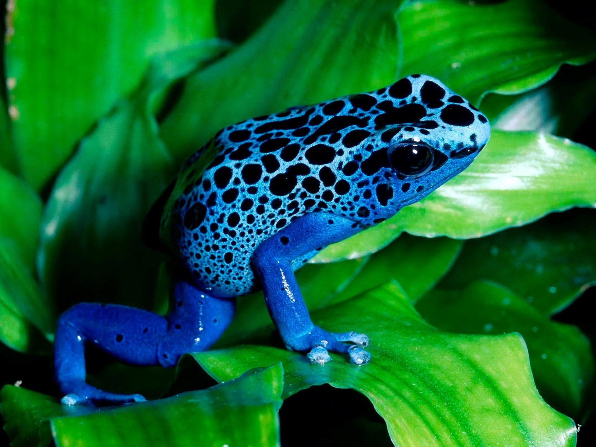 Grenouille Bleu