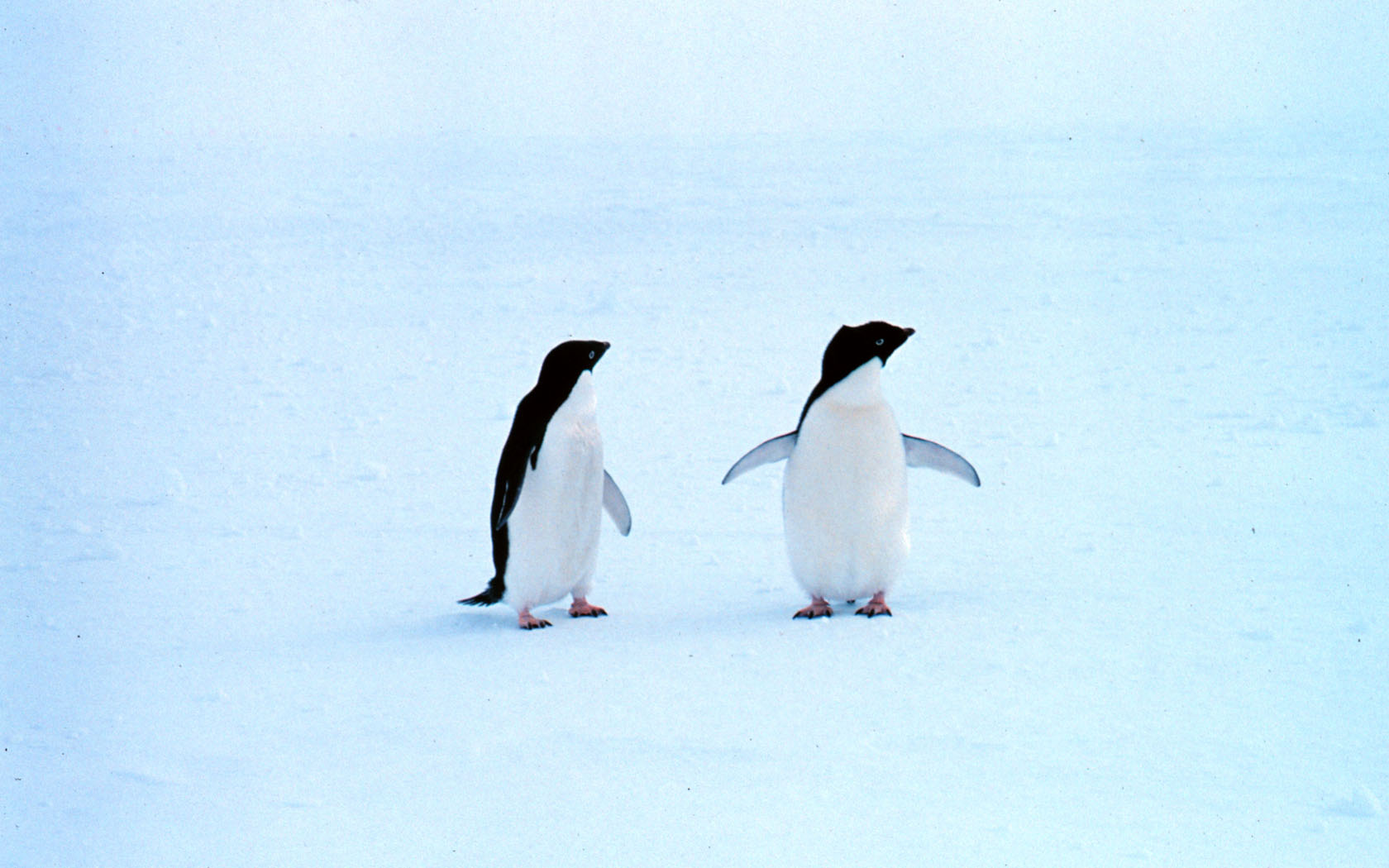 Lonely Penguins