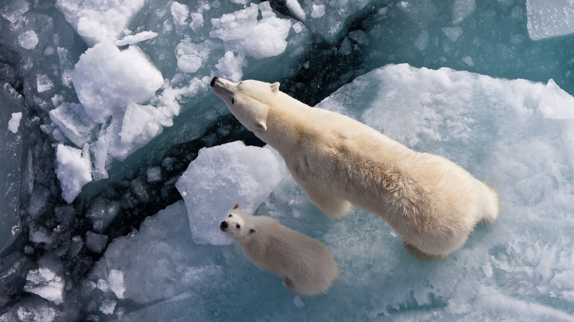Ice Polar Bears