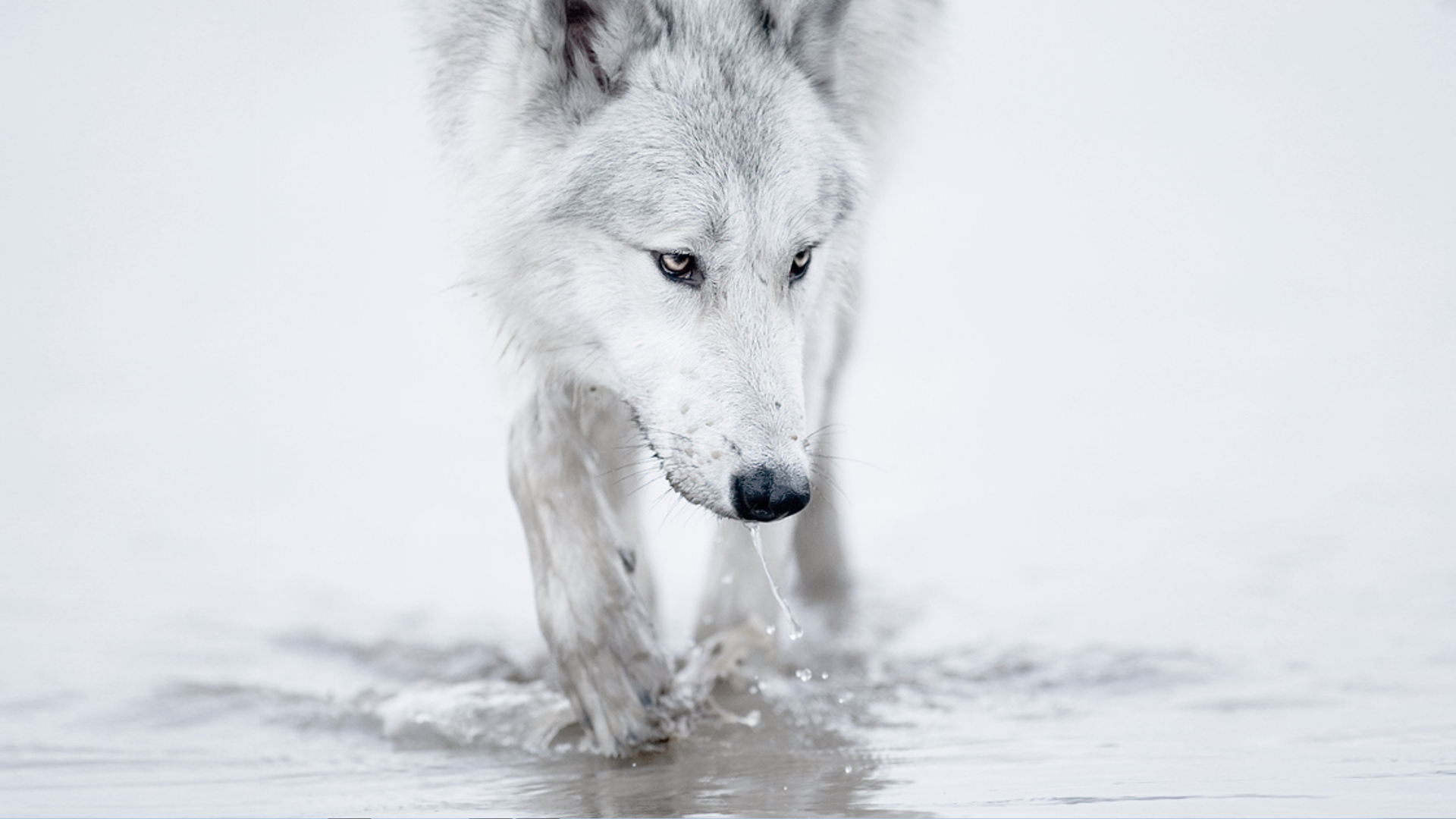 Winter Snow White Wolf Arctic