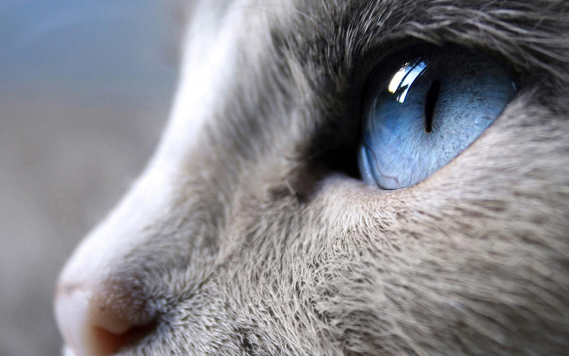 Cats Blue Eyes