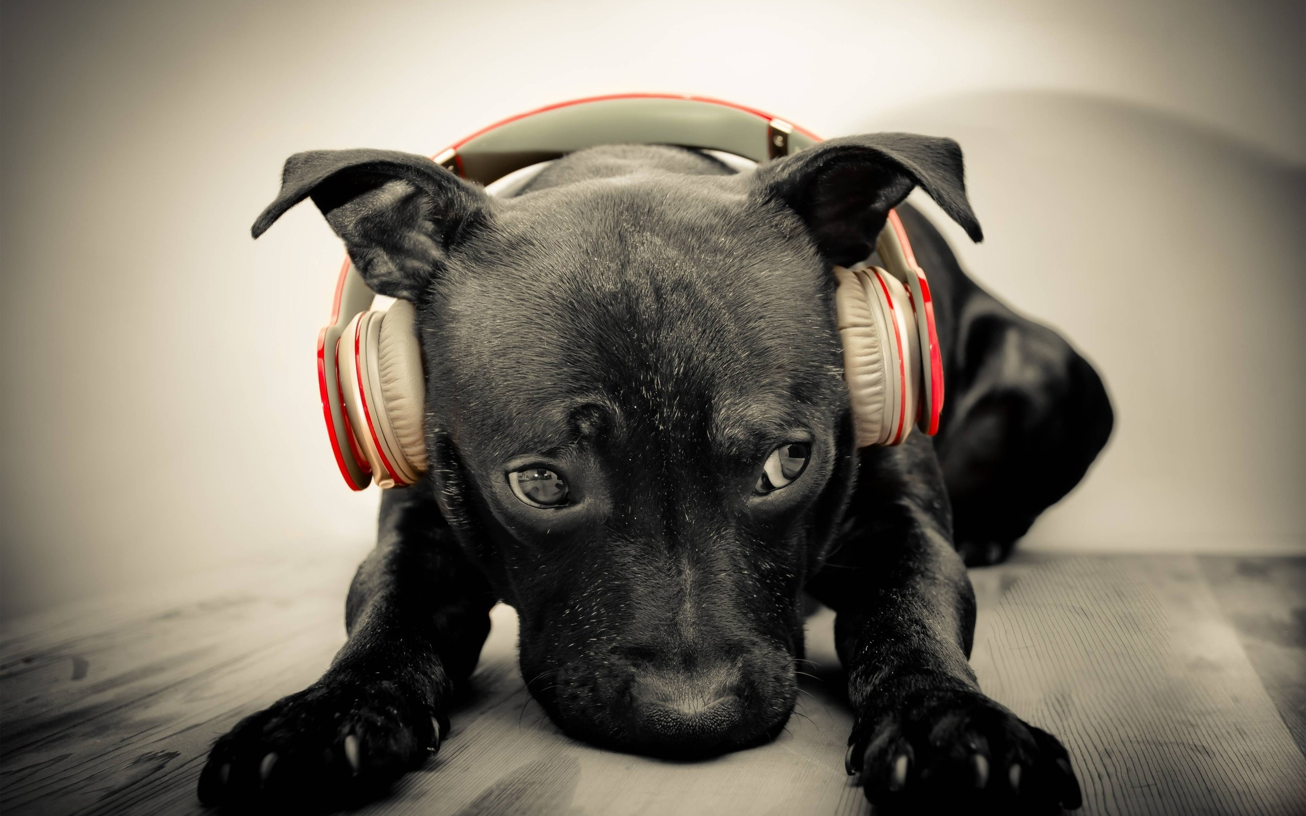 Headphones Dogs Puppies