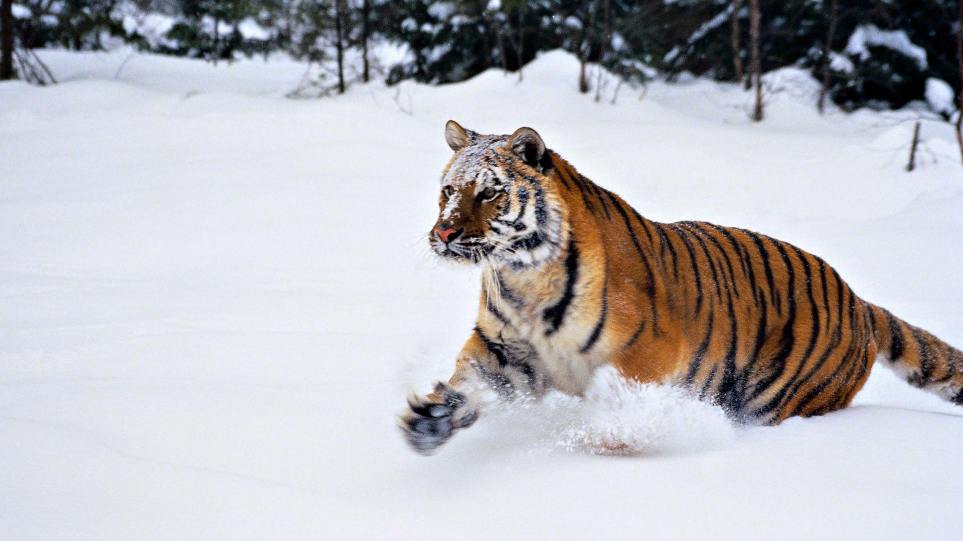 Tigre Des Neiges